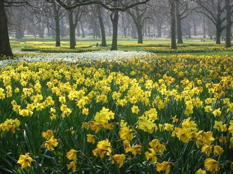 4mx_daffodils